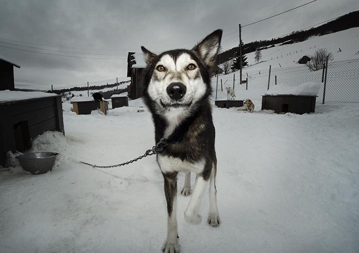 Norwegian sledge dogs