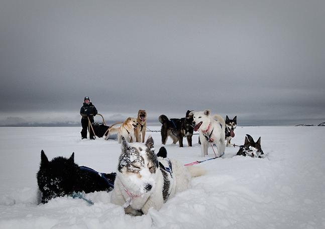 Noorse husky's nemen een pauze in de sneeuw